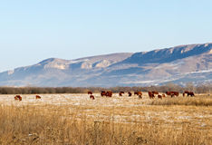 Cows grazing winter meadow Stock Image