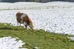 Cows grazing in a wintry field Royalty Free Stock Photo