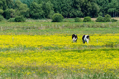 Cows grazing on yellow blooming meadow Royalty Free Stock Image