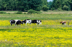 Cows grazing on yellow blooming meadow Stock Images