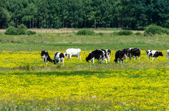 Cows grazing on yellow blooming meadow Stock Photo