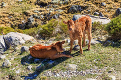 Cows in Gredos Mountain in Spain Stock Images
