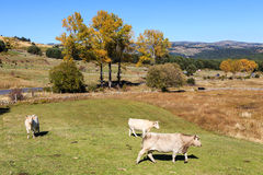 Cows in Gredos Mountain in Spain Stock Photo