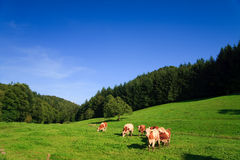 Cows on a green Royalty Free Stock Images