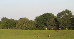 Cows on a green dike Stock Photography