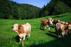 Cows on a green field Stock Image