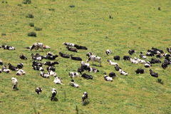 Cows in green field. Aerial view on cows in green field Stock Images