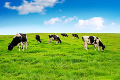 Cows on green field. royalty free stock image