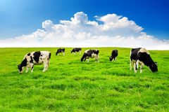 Cows on a green field Royalty Free Stock Photography