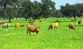 Cows in green field. Stock Photo