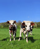 Cows on green field Stock Photo