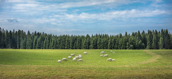 Cows in a green field Royalty Free Stock Photography