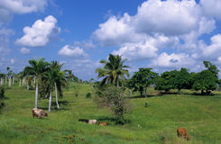 Cows in green field at Dominican republic Royalty Free Stock Photo