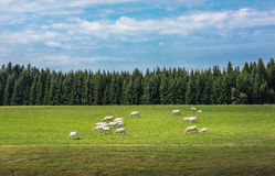 Cows in a green field Royalty Free Stock Photos
