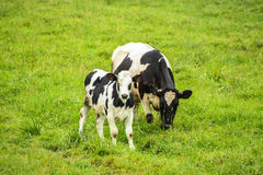 Cows on green field Stock Photography