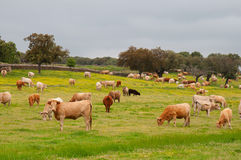 Cows in a green field Stock Photo