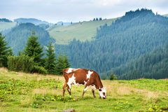 Cows on the green field at mountains Royalty Free Stock Image