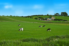 Cows on a green field in UK. Black and white Cows on a green field in UK Stock Photography