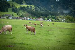 Cows on a green fields. Cows eating on a green field in Swiss Alps, Heididorf Royalty Free Stock Photography