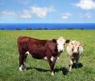 Cows on green grass Royalty Free Stock Images