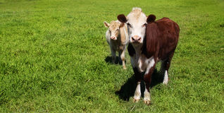 Cows on green grass Royalty Free Stock Photography