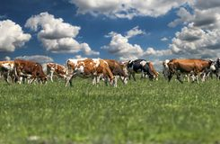 Cows On Green Grass And Blue Sky With Clouds. Rural landscape with a herd of milk cows grazing on green grassland. Herd Of Cows Grazing On Green Pasture stock image