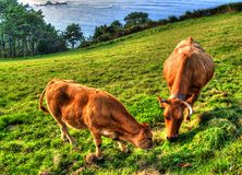 Cows on green grass field. Asturias - Spain royalty free stock image