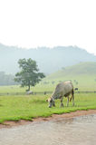 Cows in green grass mountain Stock Image