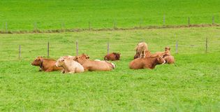 Cows on green grass Stock Image