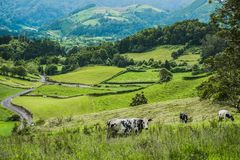 Cows on green hillside