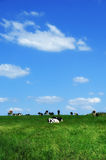 Cows On Green Meadow Royalty Free Stock Image
