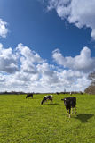 Cows on green meadow. With a typical Dutch clouded sky Royalty Free Stock Images