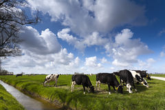 Cows on green meadow Stock Photos