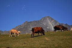 Cows on a green meadow Stock Images