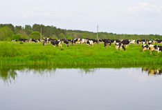 Cows on green meadow. Near water Royalty Free Stock Images