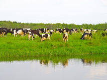Cows on green meadow. Near water Stock Image
