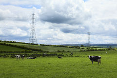 Cows in green meadow Stock Images