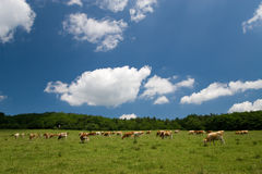 Cows on green meadow. Cows on green summer meadow and beautiful blue sky Stock Photo