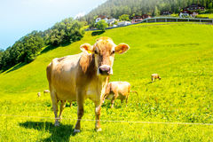 Cows on the green meadow Royalty Free Stock Photo