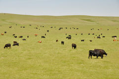 Cows on green meadow (Canada) Royalty Free Stock Image