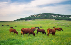 Cows on green meadow. Royalty Free Stock Photography