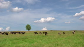 Cows on green meadow stock footage