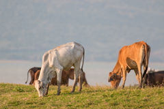 Cows on green meadow Stock Photos
