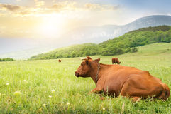 Cows on green meadow. Royalty Free Stock Image
