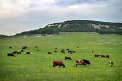 Cows on green meadow. Stock Photos