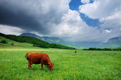 Cows on green meadow. Stock Images