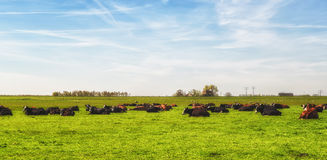 Cows on a green meadow Stock Photos