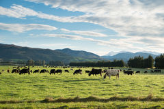 Cows in green meadow in Springfield, West Coast, South Island, N Stock Photo