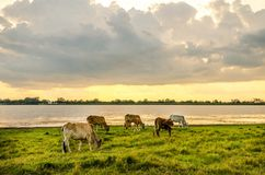 Cows in green meadow Royalty Free Stock Image