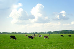 Cows on green pasture. Grazing Cows in Summer Landscape stock images